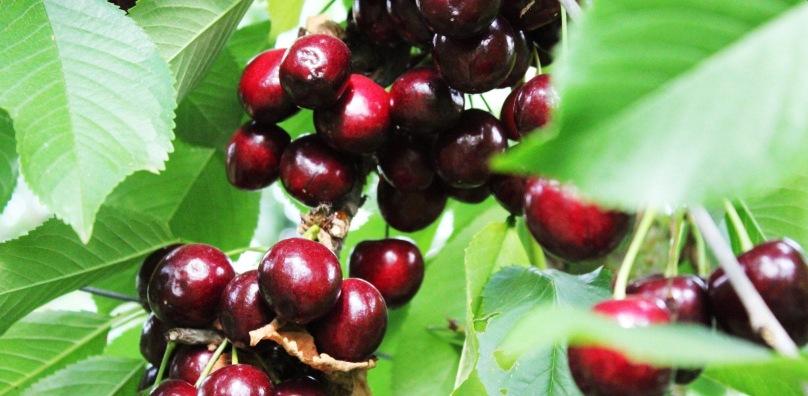 Boxford Farms Suffolk Morello Cherries
